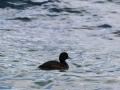 Un des moults canards que nous croiserons