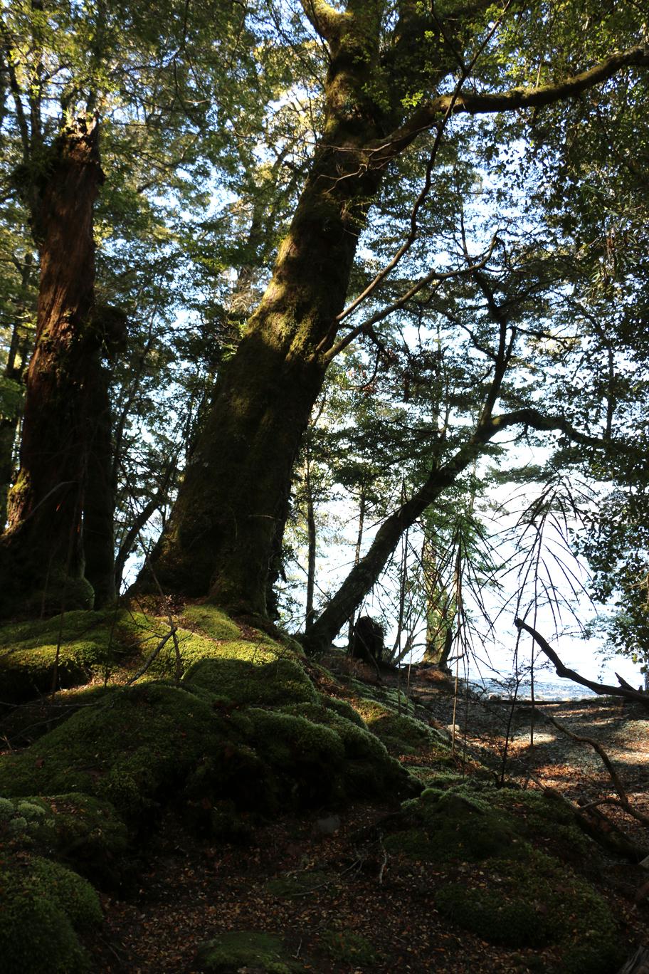 Une forêt néo-zélandaise...